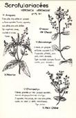 Botany - Botanical - Scrophulariaceae - Veronica - Chamaedrys
