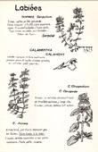 Botany - Botanical - Lamiaceae - Thymus serpyllum - Calamintha