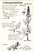 Botany - Botanical - Chenopodiaceae - Chenopodium