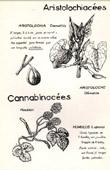 Botany - Botanical - Aristolochiaceae - Cannabaceae - Aristolochia clematitis - Humulus lupulus