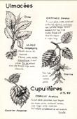 Botany - Botanical - Ulmaceae - Fagaceae - Carpinus - Ulmus - Corylus
