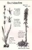 Botany - Botanical - Orchidaceae - Neottia - Ophrys