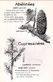 Botany - Botanical - Pinaceae - Cupressaceae - Abies - Juniperus