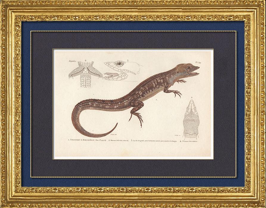 Antique Prints & Drawings   Reptiles - Sauria - Lizard - Neusticurus bicarenatus   Intaglio print   1850