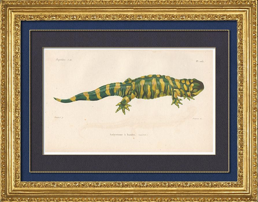 Antique Prints & Drawings   Amphibians - Urodela - Axolotl - Barred Tiger Salamander - Ambystoma tigrinum   Intaglio print   1850