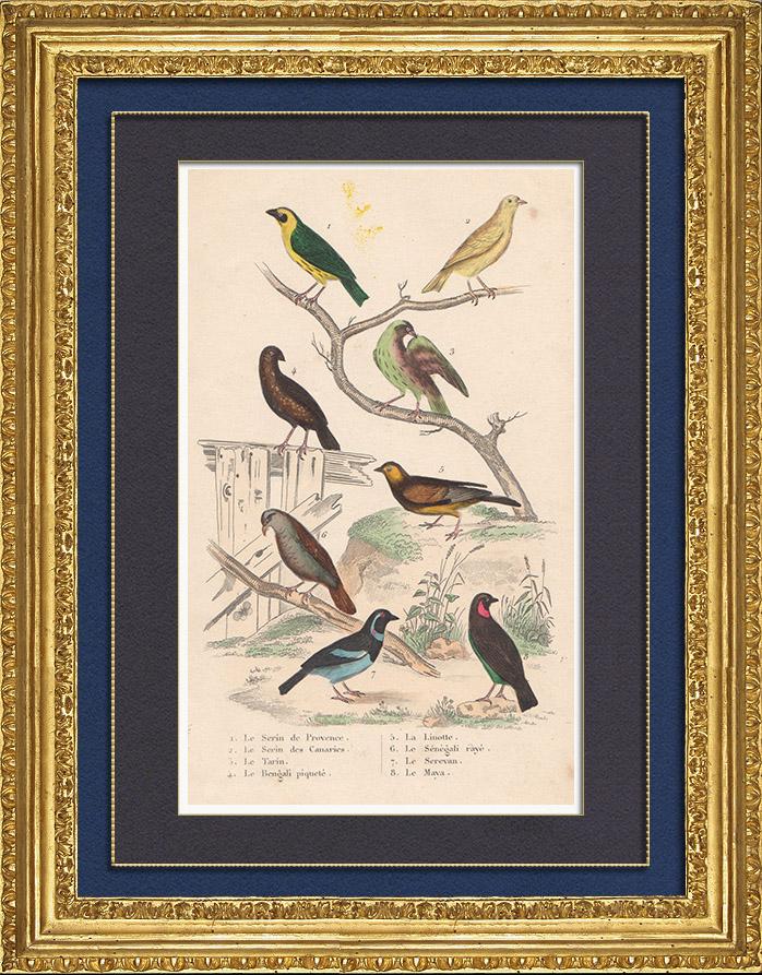 Grabados & Dibujos Antiguos | Pájaros - Passeriformes - Verdecillo - Pardillo piquigualdo - Amandava - Bluebill | Grabado en talla dulce | 1837
