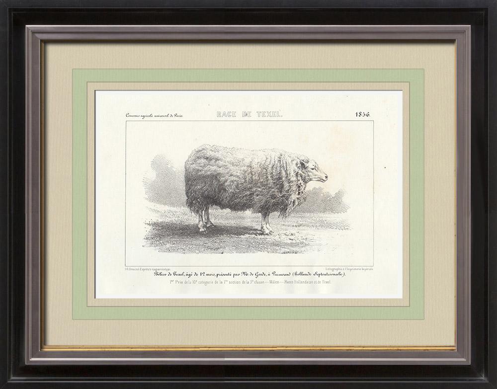 Gravures Anciennes & Dessins | Races Ovines - Mouton - Bélier - Race Texel | Lithographie | 1856