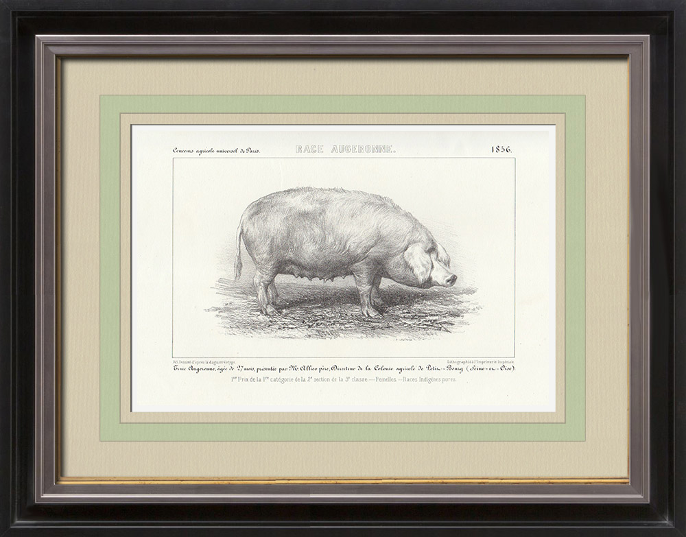 Gravures Anciennes & Dessins | Races Porcines - Truie - Race Augeronne | Lithographie | 1856