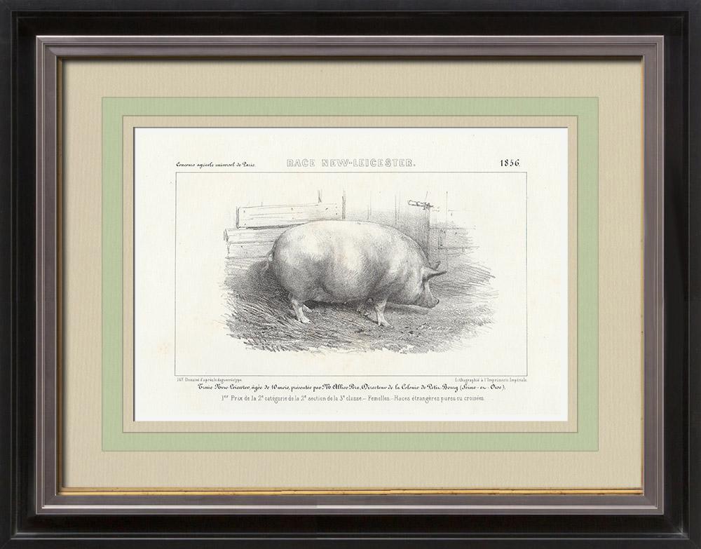 Gravures Anciennes & Dessins   Races Porcines - Truie - Race New-Leicester   Lithographie   1856