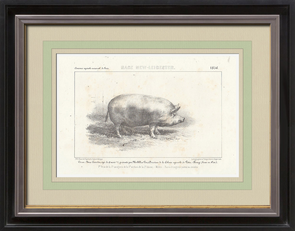Gravures Anciennes & Dessins | Races Porcines - Verrat - Race New-Leicester | Lithographie | 1856
