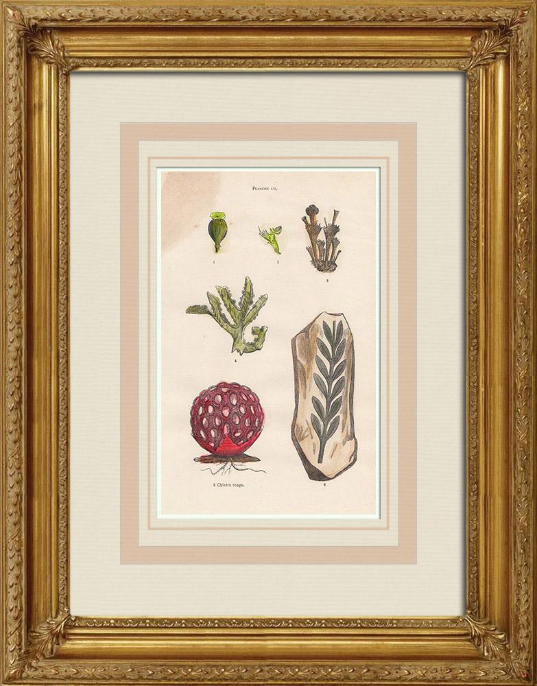 Gravures Anciennes & Dessins   Plantes et Fleurs - Champignon - Clathre rouge - Clathrus ruber - Phallaceae   Gravure sur bois   1855