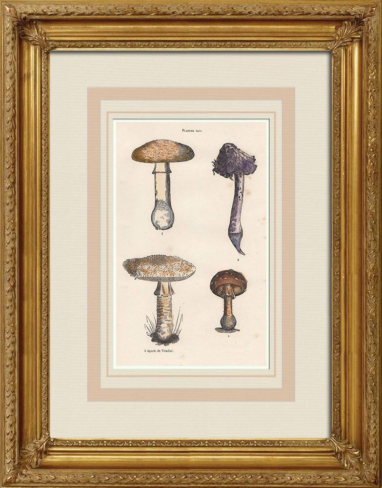 Antique Prints & Drawings   Mushrooms - Amanita muscaria - Amanita vittadinii   Wood engraving   1855