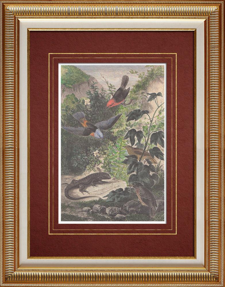 Gravures Anciennes & Dessins | Leiocephalus Grayi - Pyrocephalus Nanus - Tenagra Darwin (Îles Galápagos) | Gravure sur bois | 1860