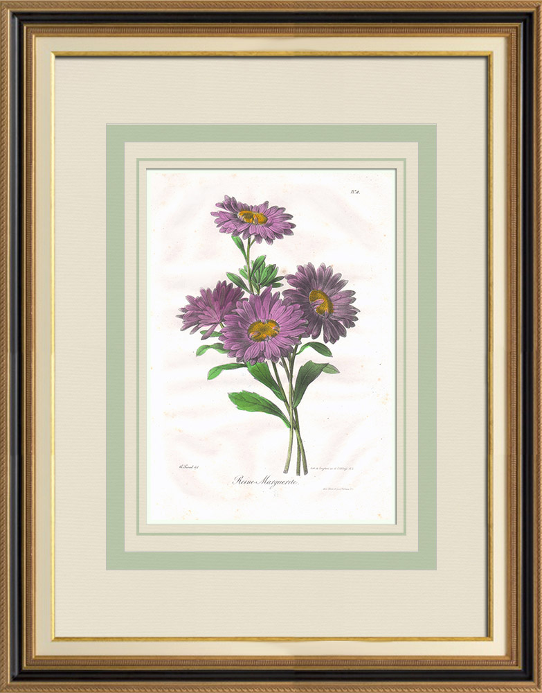 Antique Prints & Drawings | Garden Flowers - China aster | Lithography | 1830
