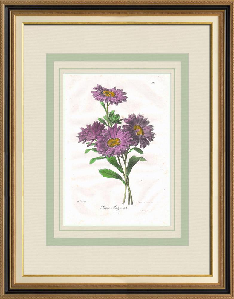 Gravures Anciennes & Dessins | Fleurs du jardin - Reine-Marguerite ou Aster de Chine | Lithographie | 1830