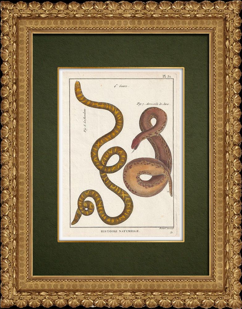 Gravures Anciennes & Dessins   Serpents - Rouleau - Acrochorde de Java   Gravure sur cuivre   1789