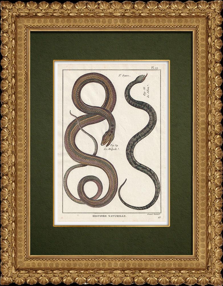 Gravures Anciennes & Dessins   Serpents - Malpole - Sibon   Gravure sur cuivre   1789