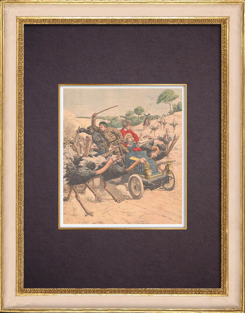 Gravures Anciennes & Dessins | Des autruches attaquent une automobile en Californie - États-Unis d'Amérique - 1904 | Gravure sur bois | 1904