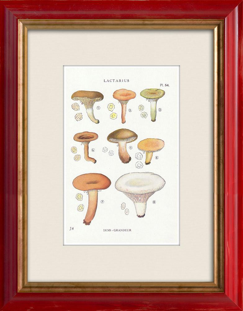 Gravures Anciennes & Dessins | Mycologie - Champignon - Lactarius - Aurantiacus Pl.54 | Impression | 1919