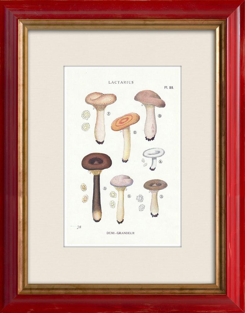 Gravures Anciennes & Dessins | Mycologie - Champignon - Lactarius - Helvus Pl.55 | Impression | 1919