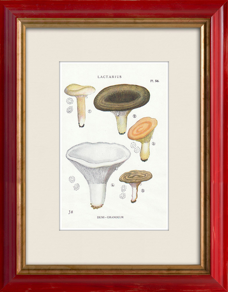 Gravures Anciennes & Dessins | Mycologie - Champignon - Lactarius - Pallidus Pers Pl.56 | Impression | 1919