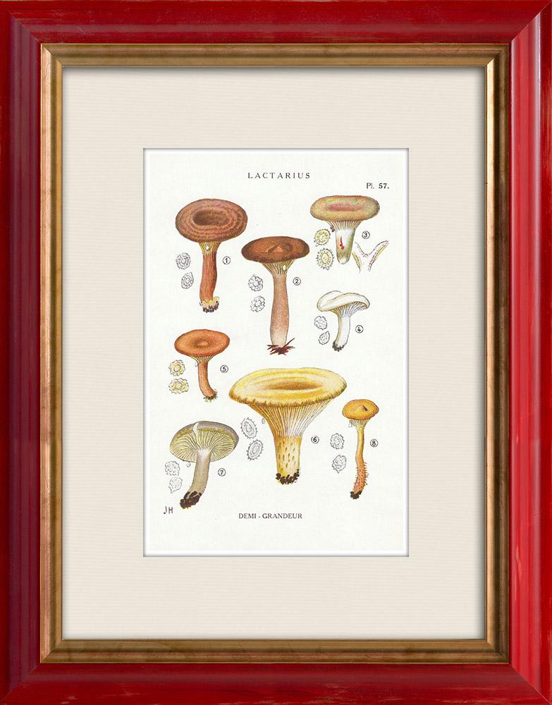 Gravures Anciennes & Dessins | Mycologie - Champignon - Lactarius - Quietus Pl.57 | Impression | 1919