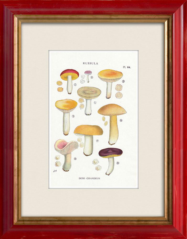 Gravures Anciennes & Dessins   Mycologie - Champignon - Russula - Nitida Pers Pl.64   Impression   1919