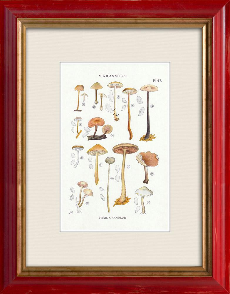 Gravures Anciennes & Dessins | Mycologie - Champignon - Marasmius - Scorodinus Pl.67 | Impression | 1919