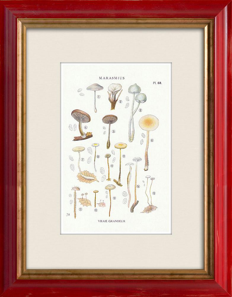 Antique Prints & Drawings | Mycology - Mushroom - Marasmius - Scorteus Pl.68 | Print | 1919