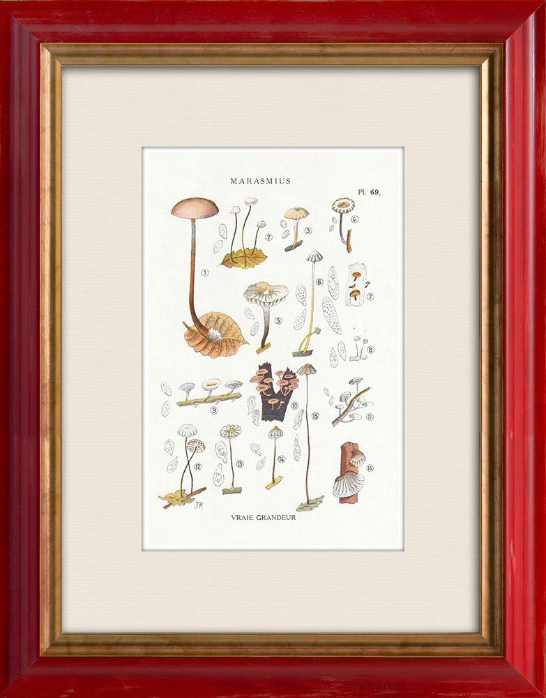 Antique Prints & Drawings   Mycology - Mushroom - Marasmius - Mulleus Pl.69   Print   1919