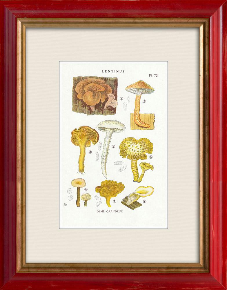 Antique Prints & Drawings | Mycology - Mushroom - Lentinus Pl.72 | Print | 1919