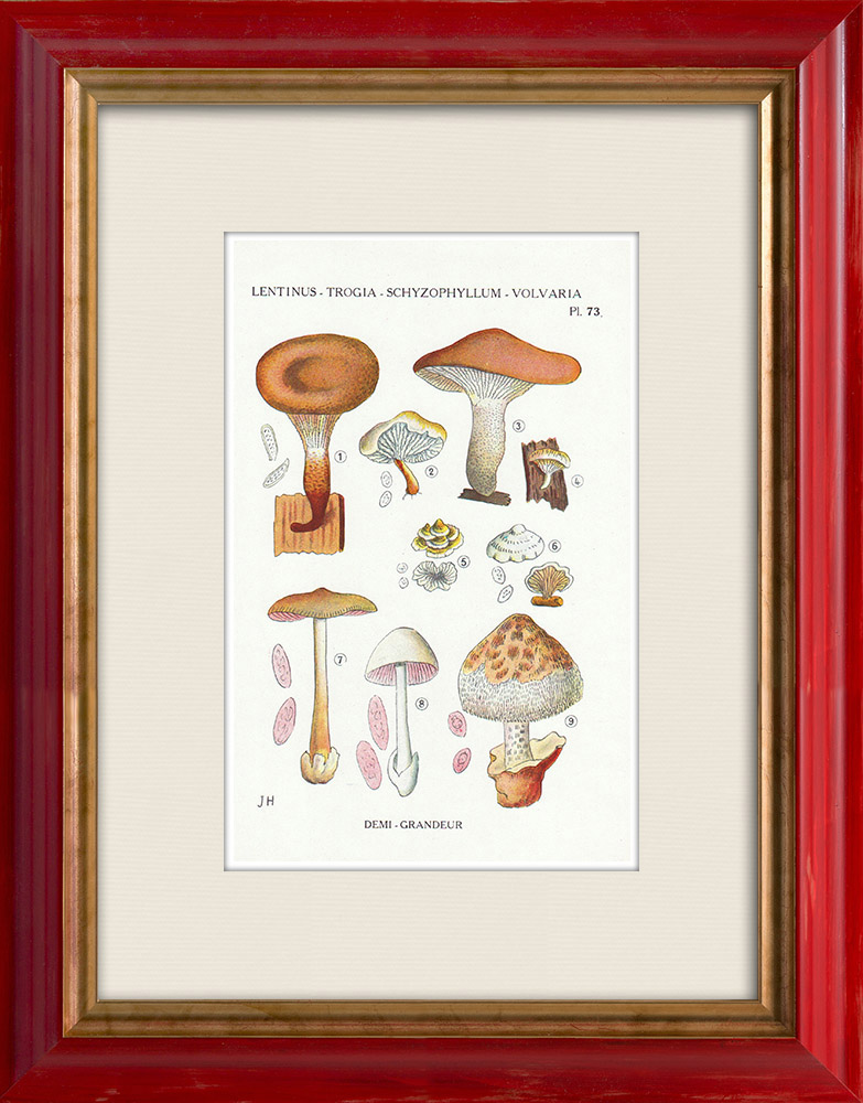 Gravures Anciennes & Dessins | Mycologie - Champignon - Lentinus - Trogia - Schyzophyllum - Volvaria Pl.73 | Impression | 1919