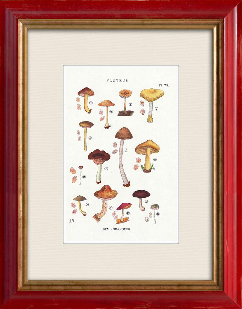 Antique Prints & Drawings | Mycology - Mushroom - Pluteus Pl.75 | Print | 1919