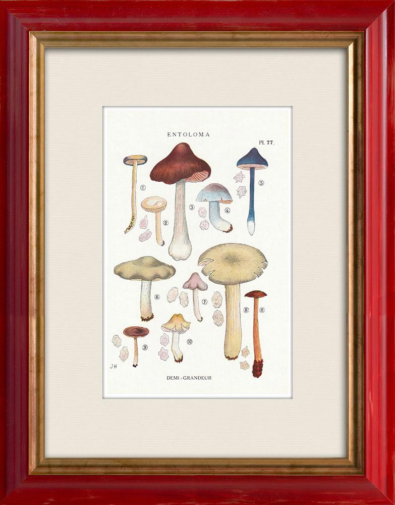Antique Prints & Drawings | Mycology - Mushroom - Entoloma - Batchianum Pl.77 | Print | 1919