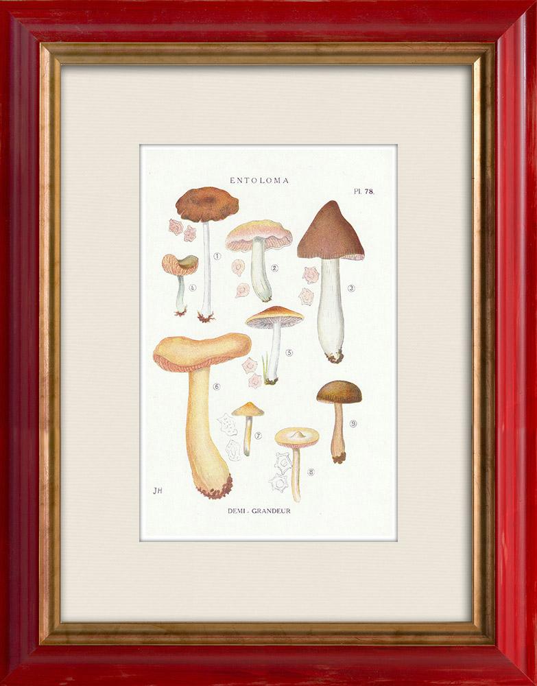 Gravures Anciennes & Dessins | Mycologie - Champignon - Entoloma - Nidorosum Pl.78 | Impression | 1919