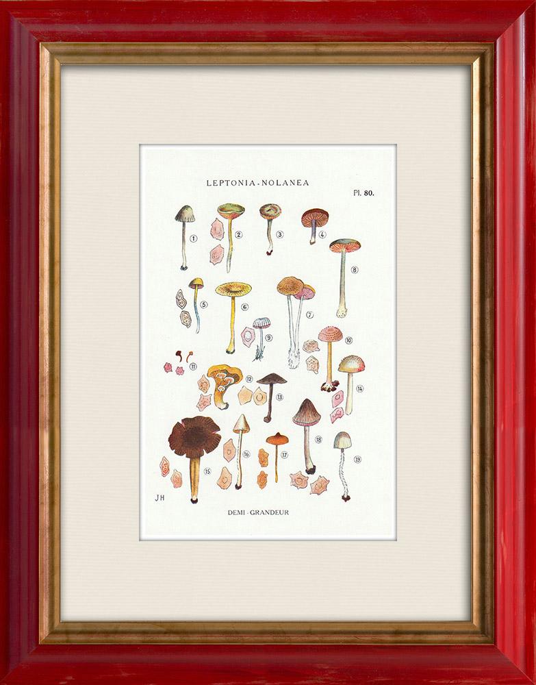 Antique Prints & Drawings | Mycology - Mushroom - Leptonia - Nolanea Pl.80 | Print | 1919