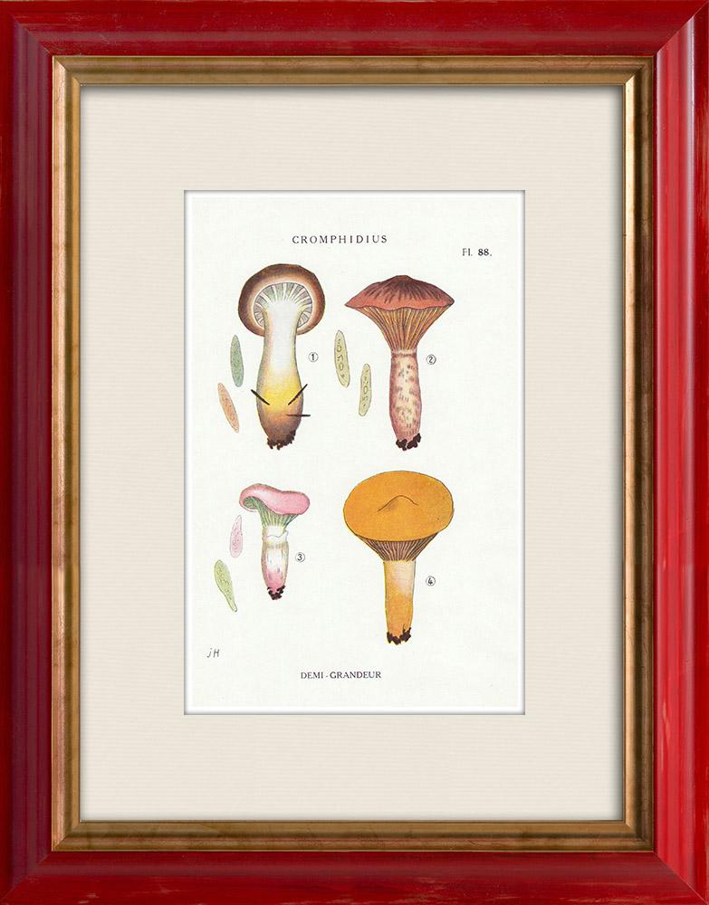 Antique Prints & Drawings   Mycology - Mushroom - Cromphidius Pl.88   Print   1919