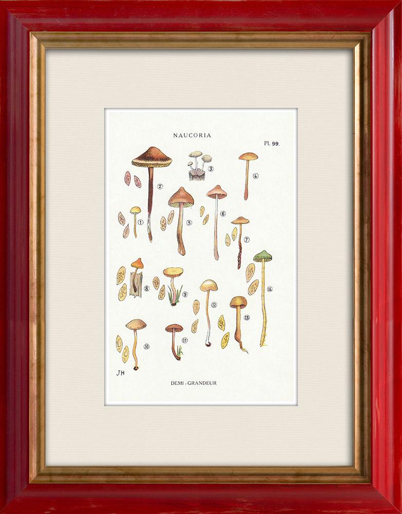 Antique Prints & Drawings | Mycology - Mushroom - Naucoria - Pusiola Pl.99 | Print | 1919