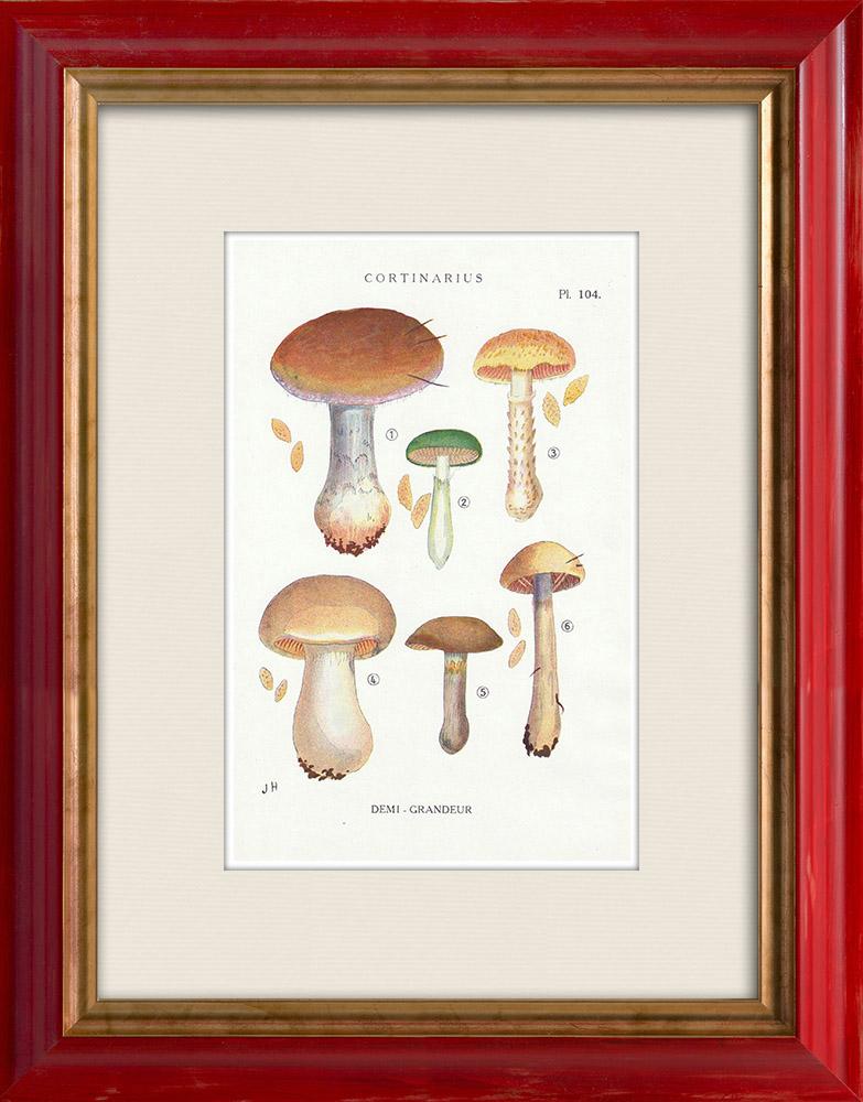 Gravures Anciennes & Dessins   Mycologie - Champignon - Cortinarius Pl.104   Impression   1919