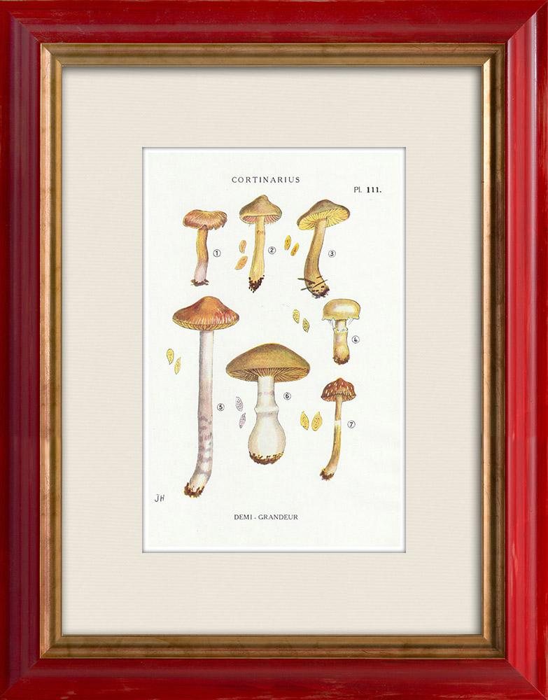 Antique Prints & Drawings   Mycology - Mushroom - Cortinarius Pl.111   Print   1919