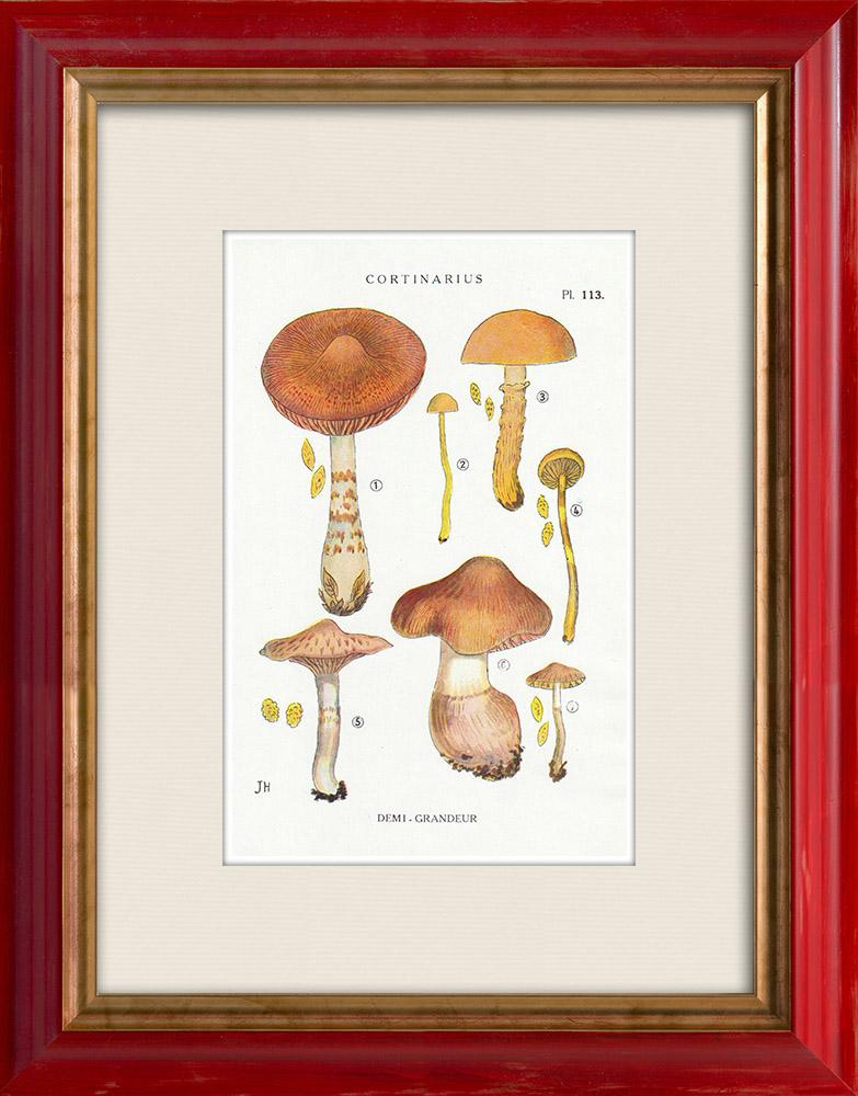 Antique Prints & Drawings | Mycology - Mushroom - Cortinarius Pl.113 | Print | 1919