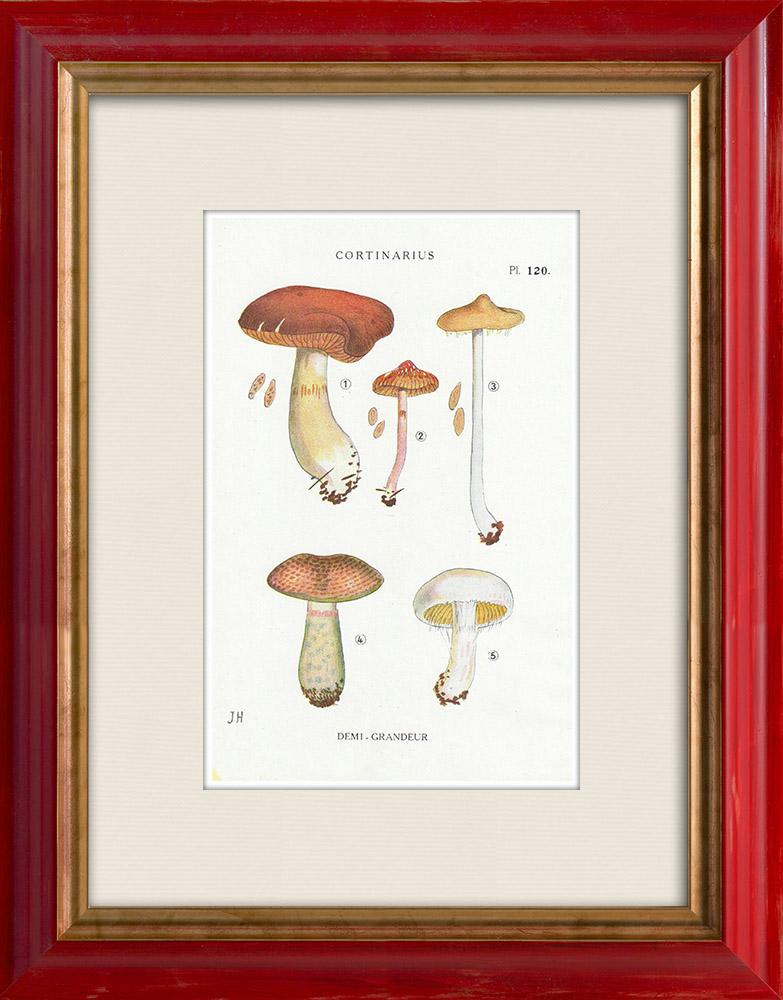 Gravures Anciennes & Dessins | Mycologie - Champignon - Cortinarius Pl.120 | Impression | 1919