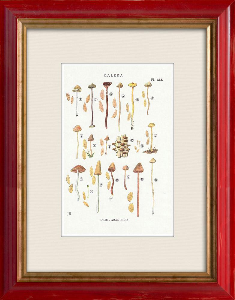 Antique Prints & Drawings   Mycology - Mushroom - Galera Pl.123   Print   1919
