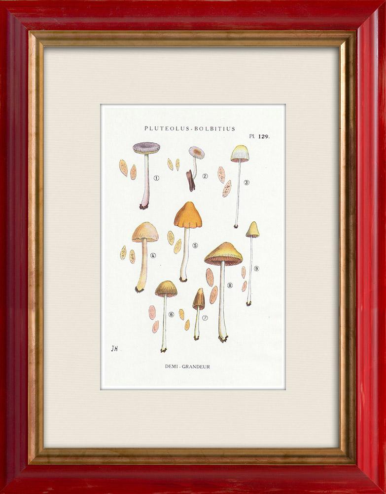 Gravures Anciennes & Dessins | Mycologie - Champignon - Pluteolus - Bolbitius Pl.129 | Impression | 1919