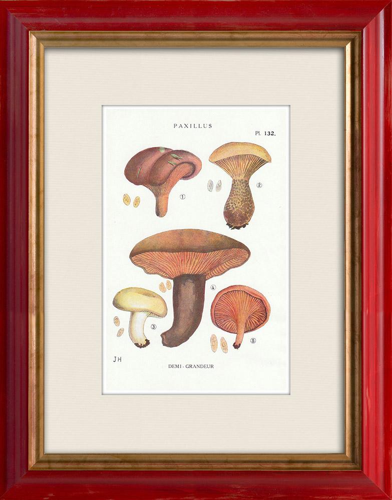 Antique Prints & Drawings | Mycology - Mushroom - Paxillus Pl.132 | Print | 1919