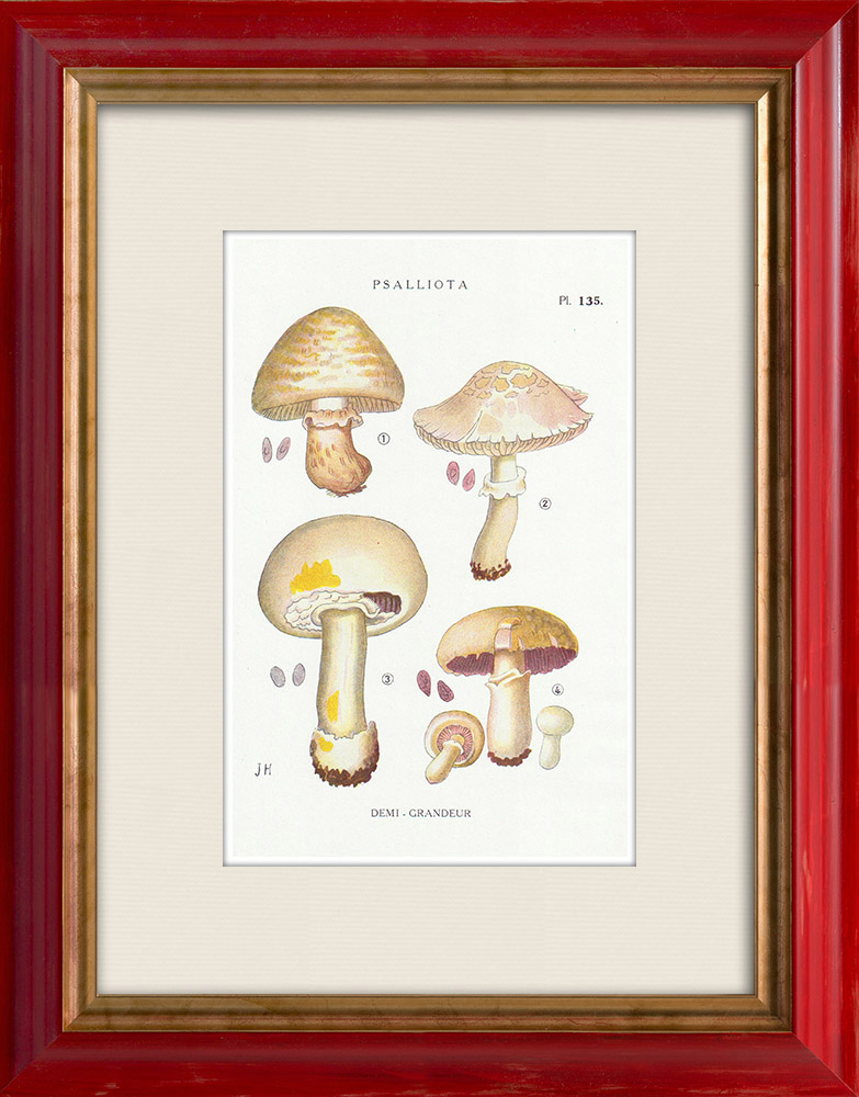 Grabados & Dibujos Antiguos | Micología - Seta - Psalliota Pl.135 | Estampa | 1919