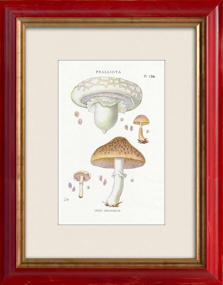 Antique Prints & Drawings | Mycology - Mushroom - Psalliota Pl.136 | Print | 1919