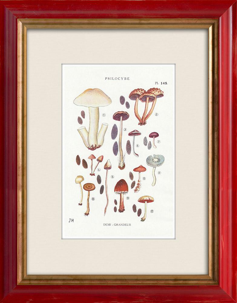 Antique Prints & Drawings | Mycology - Mushroom - Psilocybe Pl.145 | Print | 1919