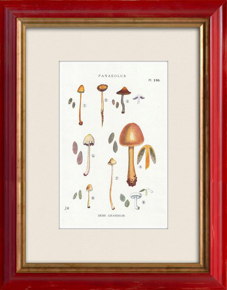 Antique Prints & Drawings | Mycology - Mushroom - Panaeolus Pl.150 | Print | 1919