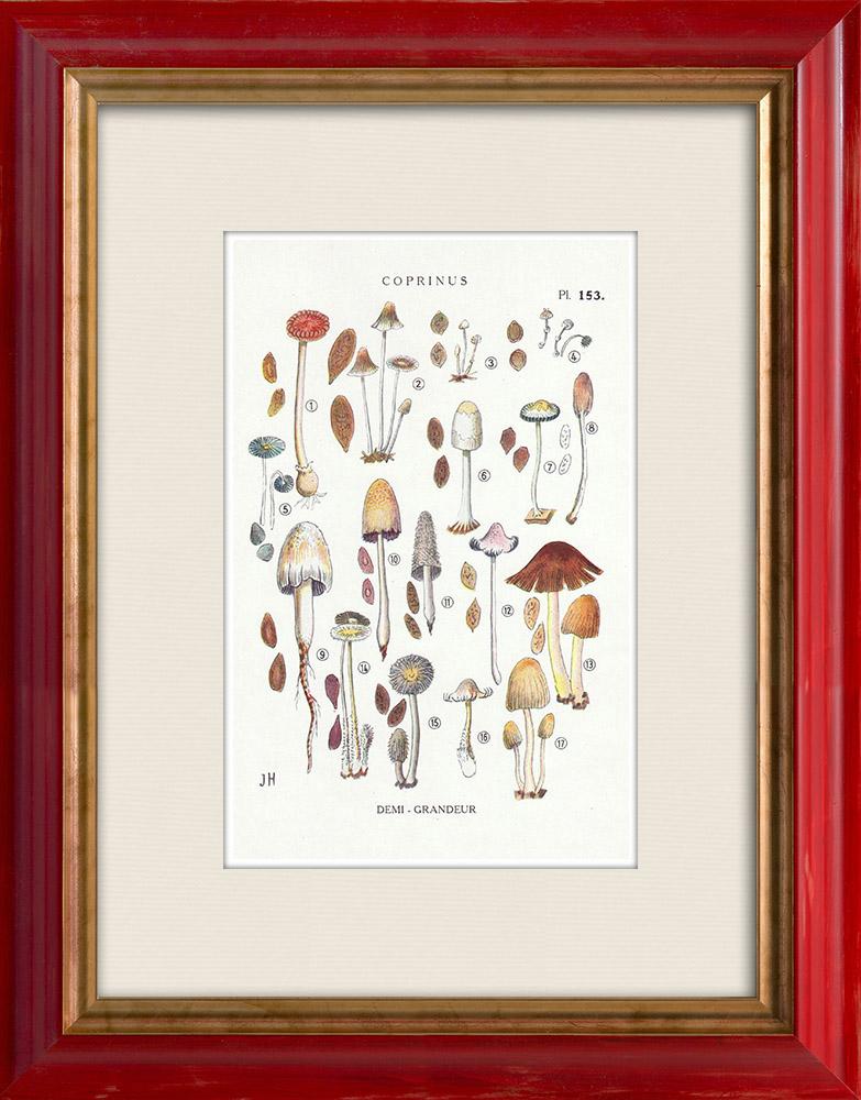 Antique Prints & Drawings   Mycology - Mushroom - Coprinus Pl.153   Print   1919